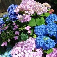 梅雨の風物詩 白山神社で楽しむ色とりどりの紫陽花