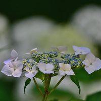 2017初夏に向かって咲く華・花達【その4  アジサイなど】