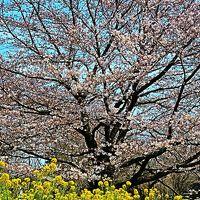 都立小金井公園 〔桜の園〕 さくら1,800本見ごろ ☆珍しい桜の品種も多く