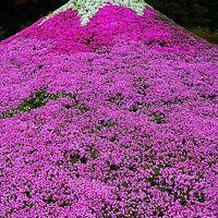 本栖湖リゾート 富士芝桜まつり2017 2/2 80万株も ☆ミニ富士山は化粧した艶姿
