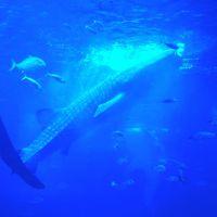 2017年夏休み!:世界最大級の水族館!海遊館(Osaka Aquarium KAIYUKAN)&グランフロント大阪に行く!関西帰省3泊4日:家族で)
