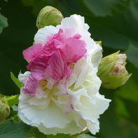 9月 酔芙蓉と彼岸花を見に「花の文化園」へ・・・