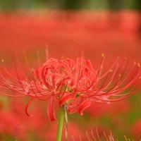 曼殊沙華(Red Spider Lily)@日高市巾着田