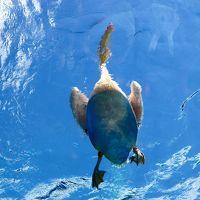 2017年秋!:Sunshine aquariumサンシャイン水族館『天空のペンギン』水槽でペリカンのフィーディングタイムでの『空飛ぶペリカン』に感動!(家族で!)