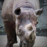 上野Zoo 1 ヒガシクロサイ・アジアゾウ ☆絶滅危惧種の保存も役割
