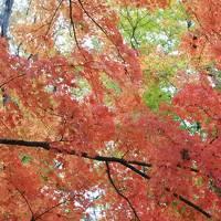 富士ビューホテルの紅葉はまだまだ見頃(11月8日・3-2)