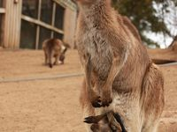 初オーストラリアのメルボルンでフェアリーペンギン・タスマニアでタスマニアデビルに会うひとり旅!