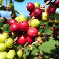 2017年10月 ハワイ島旅行�♪コーヒー農園で焙煎体験♪ティキ♪コナでランチ&散策♪