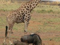南アフリカ お花見旅行-7 ピーランズパークでゲームサファリ
