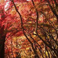 鎌倉の紅葉めぐり 〜雑木林が真っ赤に染まる獅子舞~
