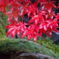 雨の新発田の紅葉