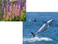 ドルフィンとルピナスに会いにニュージーランドへ �ロトルアからフカ滝