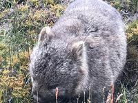 オーストラリア/タスマニアで野生動物とHappy New Year!!@クレイドルマウンテンハイランダーズ&メリトンマスコットセントラル(2017年12月)