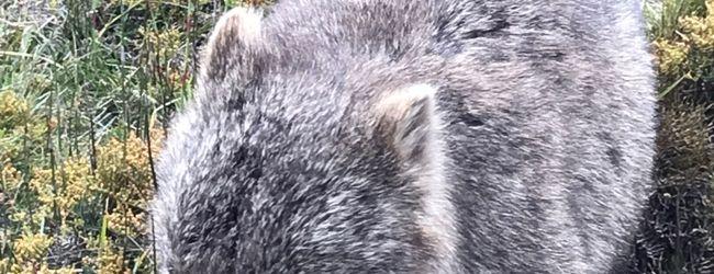 オーストラリア/タスマニアで野生動物とHa...