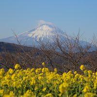 2018 吾妻山の菜の花ウォッチングと鎌倉の初詣