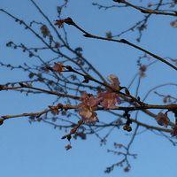 二度咲きの十月桜とメジロ @ 上野公園