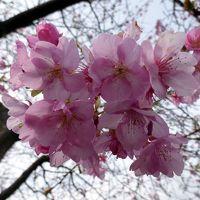平成30年 2月3日 節分の河津桜と下田爪木崎の水仙まつり