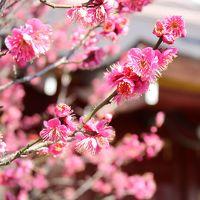 梅はまだかな 立春の湯島天神、神田明神、湯島聖堂歩き