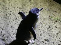 ダニーデンでブルーペンギンを撮影してきた。