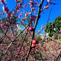 小田原城の梅見の後は箱根湯本の天山、一休はしご風呂
