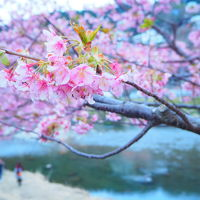 河津桜祭り2018