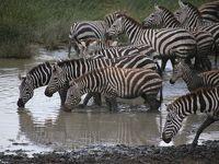 ベビーラッシュのタンザニアのはず…� ンドゥトウ ゼブラプール