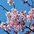 別府の早咲き桜2018の写真