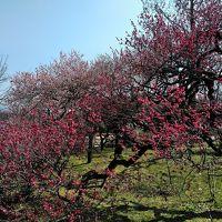 3月中旬の京都の旅(5)ー京都府立植物園の梅林ー