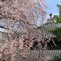 2018桜散歩、鎌倉編(本覚寺、妙本寺をメインに)