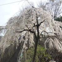 烏山川緑道の桜&松陰神社・若林公園に立ち寄り 2018/03/24