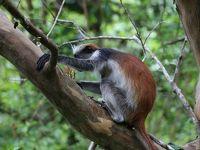 ザンジバルでもサファリ 固有種のレッドコロブスに逢えた