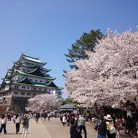 桜満開♪見納めの名古屋城