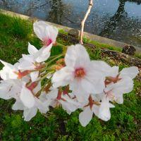 2018桜—氷川神社・川越水上公園