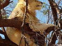 木に登るライオン晴れた日にはボツワナが見えるかも😊💕