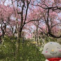 京都の桜 2018今年のおすすめ