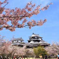 松山城 夜も昼も桜、さくら、サクラ!!