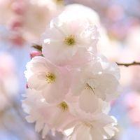 桜が長〜く楽しめる新宿御苑、八重桜の見頃はこれからです
