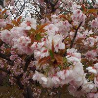 残念な桜見学
