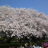 色々な桜を見れる新宿御苑:ソメイヨシノを見飽きた方にはお奨めです 2018/03/28