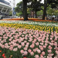 あっという間に満開! 横浜公園のチューリップ 2018