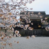 京都の桜が見たくて日帰り弾丸旅行