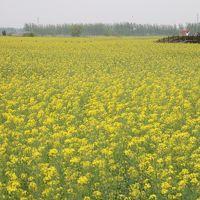 菜の花畑を求めて〜中国・江蘇省への旅(その1 上海・無錫・興化)