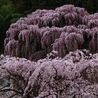 福島 桜めぐり〜三春滝桜、福聚寺、雪村桜、花見山