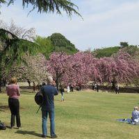 新宿御苑では4月11日でも咲いている桜あり