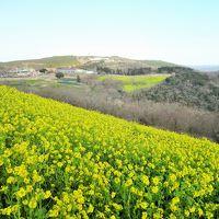 350万本の菜の花が咲き誇るマザー牧場