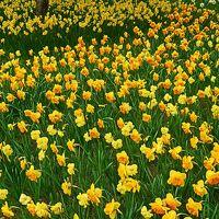 国営ひたち海浜公園2/6 スイセン・100万本の花園 ☆松林の合間に咲き誇り