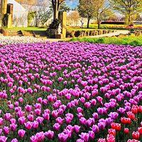 山梨-7 ハーブ庭園 旅日記(勝沼農園)見学/買物 ☆チューリップの花園広々