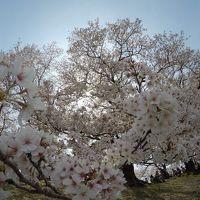 京都で桜三昧〜♪