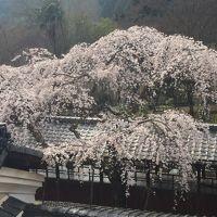 花の都の桜廻り2 -2016春-