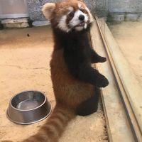 東尋坊で肝を冷やしたあとは西山公園のレッサーパンダでほんわか癒やされました